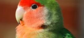 Agapornis_roseicollis_-Wingham_Wildlife_Park-81-300x228