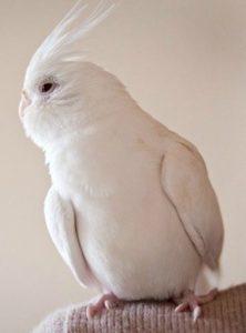 calopsite albina