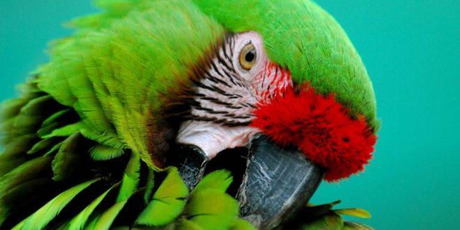 Quando i pappagalli perdono le piume