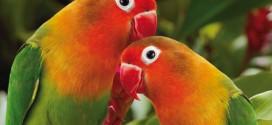 riproduzione dei pappagalli