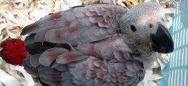 red soffusion pappagalli