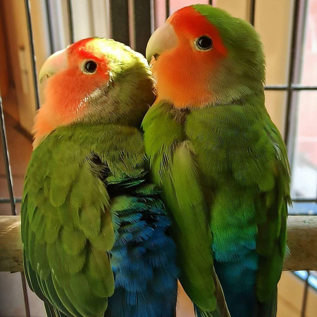 inseparabili pappagalli