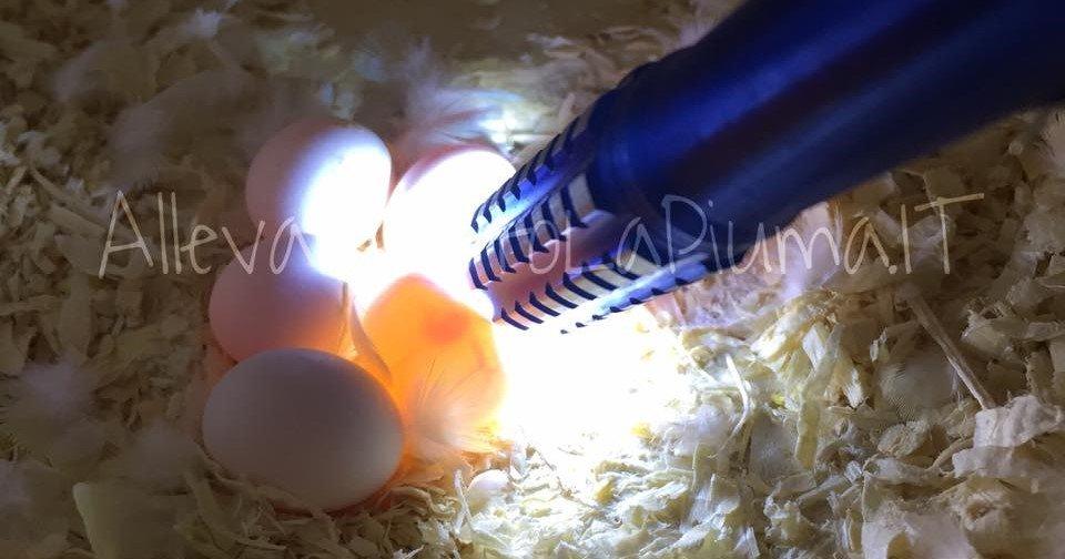 speratura delle uova cocorite